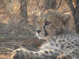 guepard-cheetah-protection-conservation