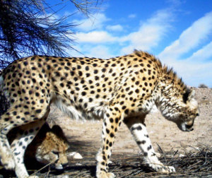 protection-conservation-guepard-cheetah