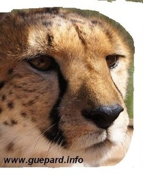 cheetah-guepard-information-protection