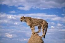 guepard-information-cheetah