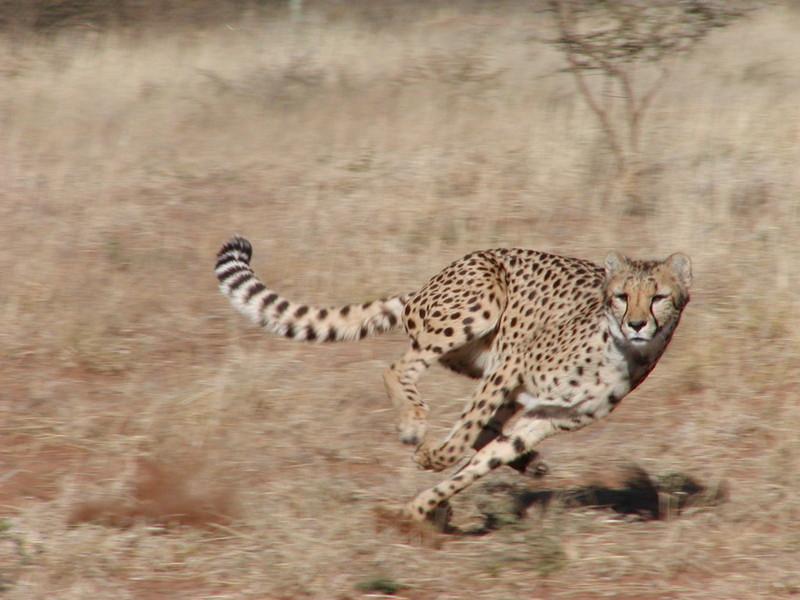 les proies du guepard la chasse du guepard la vitesse du guepard. Black Bedroom Furniture Sets. Home Design Ideas