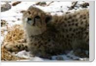 cheetah-guepard-information