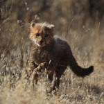 cheetah-guepard-information
