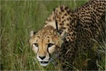 guepard-information-cheetah