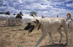 élevage de chiens de berger